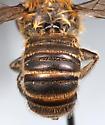 bee1 - Megachile