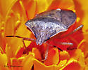 Stink Bug - Euschistus