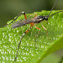 Braconid Wasp ? - Phytodietus - male