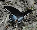 spicebush ? - Papilio troilus - male