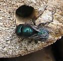 Solitary Bee - Osmia ribifloris