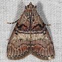 Unknown Micromoth - Pococera asperatella