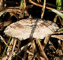 brown patterned Moth - Costaconvexa centrostrigaria
