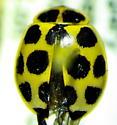 Calvia quatuordecimguttata
