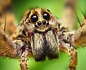 Wolf Spider - Hogna antelucana - male