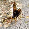 Giant Ichneumon Wasps - Megarhyssa - female