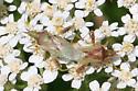 Bug ID Request - Harmostes reflexulus - male - female