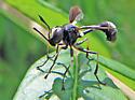 Skinny Black Fly - Physocephala tibialis - male
