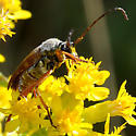 Longhorn with rufous elytra and appendages on goldenrod - Typocerus