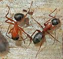 Camponotus Subgenus Tanaemyrmex - Camponotus