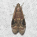 American Plum Borer - Hodges#5995 - Euzophera semifuneralis