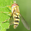 Syrphid Flies Syrphus knabi - Syrphus knabi