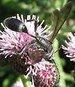 sphecid 2 - Isodontia mexicana