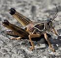 Biggest Grasshopper I have ever seen! - Brachystola magna - male