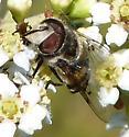 Syrphidae: Copestylum sp?? - Copestylum avidum - male