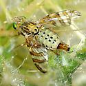 Chaetostomella undosa female maybe? - Chaetostomella undosa - female