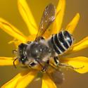 Family Megachilidae: Leaf Cutter Bee - Megachile - male
