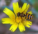 Syrphus opinator ?? - Eupeodes latifasciatus