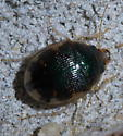 Round black and pale beetle - Omophron