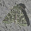 Feralia sp. maybe - Feralia comstocki