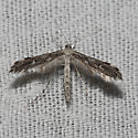 Hodges#6186 - Hellinsia inquinatus