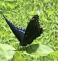 Red Spotted Admiral?