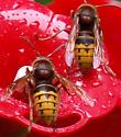 Yellow/Black Bug - Vespa crabro