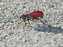 what's this red bug? - Jadera haematoloma