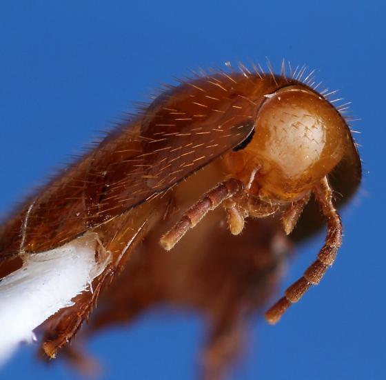 Attaphila fungicola Wheeler - Attaphila fungicola