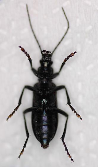 Ditylus - Ditylus gracilis