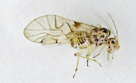 Barklouse - Teliapsocus conterminus