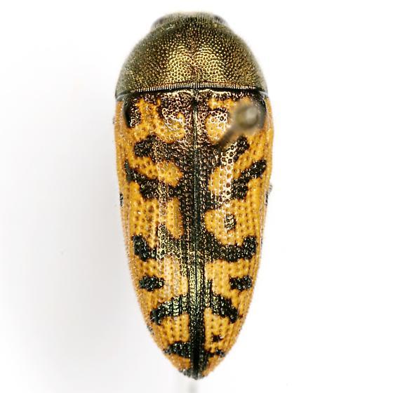 Acmaeodera auritincta Fall - Acmaeodera auritincta