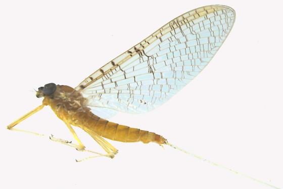 Mayfly - Leucrocuta