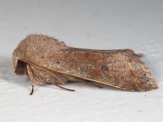 Furry Brown Moth - Orthosia hibisci