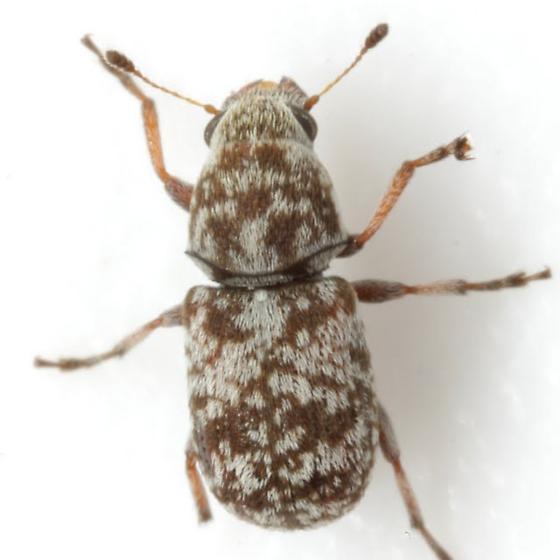 Ormiscus sp. 10. - Ormiscus
