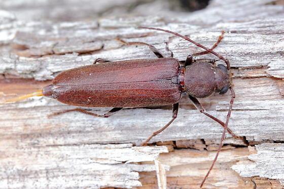 Long-horned Beetle - Arhopalus rusticus - female