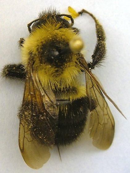 Bombus - Bombus bimaculatus - female