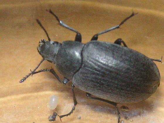 Bothrotes plumbeus (Tenebrionidae) in Colorado Springs - Bothrotes