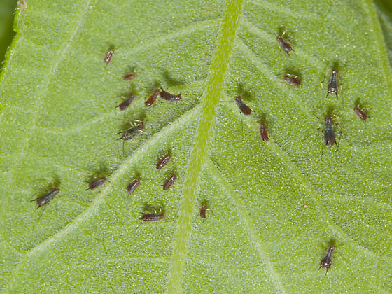 A gathering of Aphids - Uroleucon