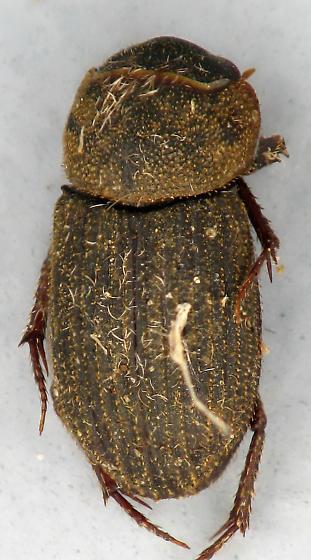 Ataenius - Ataenius imbricatus