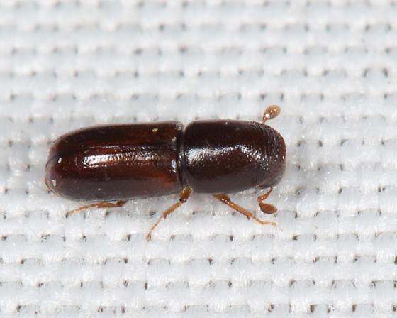 Scolytin - Gnathotrichus materiarius