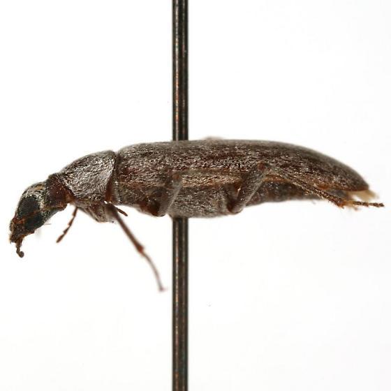 Leptoremus argenteus Casey - Leptoremus argenteus
