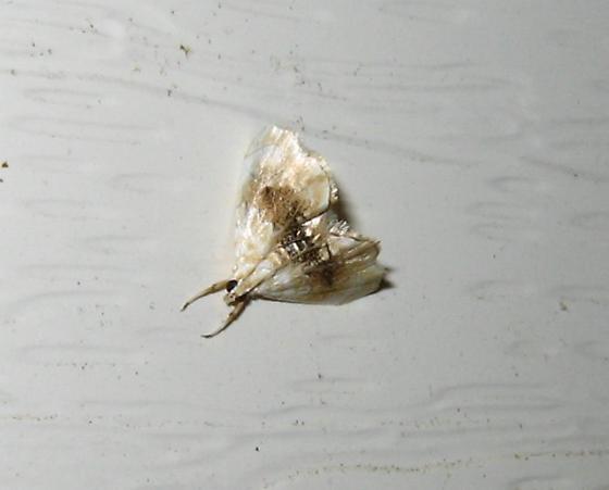 Moth - Lipocosma septa