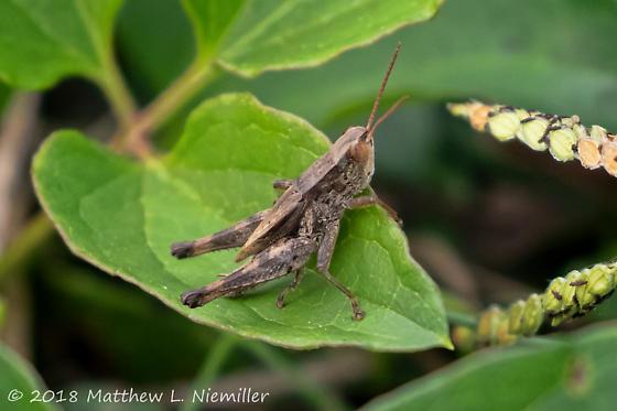 Acrididae - Dichromorpha viridis - male
