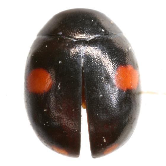 Hyperaspis conviva Casey - Hyperaspis conviva