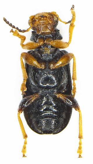 Zeugophora