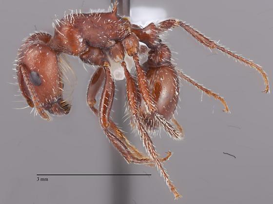 Pogonomyrmex Tucson area - Pogonomyrmex barbatus