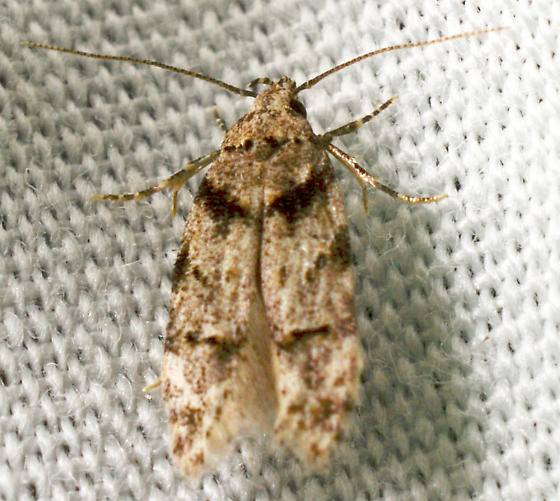 Pseudotelphusa quercinigracella? - Pseudotelphusa quercinigracella