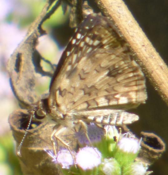 UnknownButterfly16 - Pyrgus oileus