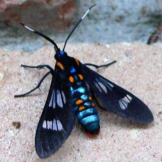 Lydia Tiger Moth - Phoenicoprocta lydia